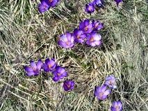 Цветки крокуса весны в прикарпатских горах стоковое изображение rf