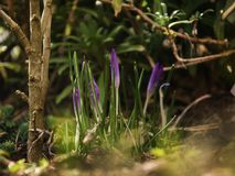 Цветки крокуса в тени роз стоковые изображения rf