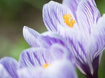 Цветки крокуса закрывают вверх Стоковое Изображение RF
