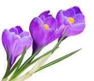 цветки крокуса Стоковая Фотография