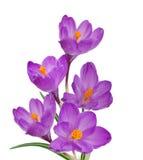 цветки крокуса Стоковое Изображение RF