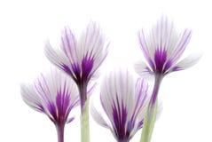 цветки крокуса Стоковые Фотографии RF