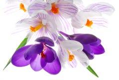цветки крокуса Стоковое фото RF