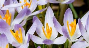 Цветки крокуса Стоковое Изображение