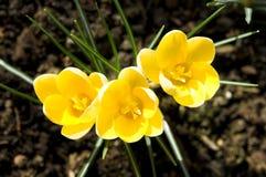 цветки крокуса Стоковые Изображения RF