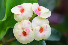 Цветки кроны терниев с желтыми и peachy тенями стоковые фотографии rf