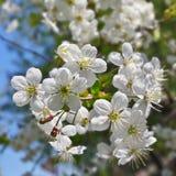 цветки крупного плана вишни Стоковые Фото