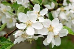 цветки крупного плана яблока Стоковые Фотографии RF