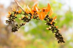 Цветки крупного плана оранжевые драчевого Teak Стоковое Изображение RF