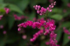 Цветки крупного плана розовые Стоковые Изображения RF