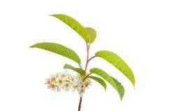 Цветки крушины ольшаника (alnus Frangula) Стоковые Изображения RF