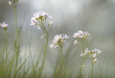 Цветки кукушки в серых небесах Стоковое Фото