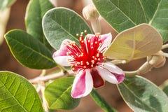 Цветки кустарника guava ананаса изолированные на коричневой предпосылке Стоковое Изображение