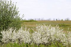 Цветки куста вишни с голубым небом против детенышей весны цветка принципиальной схемы предпосылки белых желтых Стоковые Фото