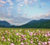 Цветки клевера на луге около зеленых гор Стоковое Изображение RF