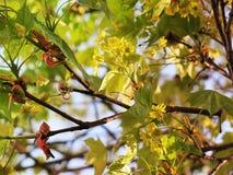 Цветки клена Стоковые Фото
