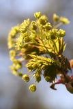 Цветки клена Стоковое Изображение