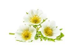 Цветки клубники изолированные на белизне Стоковое Изображение