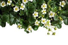 цветки клубники с листьями Стоковая Фотография