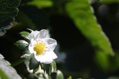 Цветки клубники Стоковые Изображения