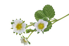 Цветки клубники Стоковое Фото