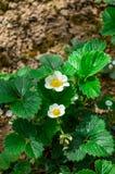 Цветки клубник Стоковые Фото
