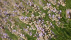 Цветки лаванды в ветре видеоматериал