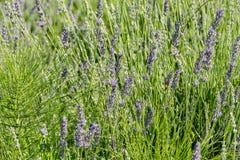 Цветки лаванды в крупном плане стоковые фото