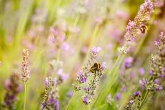 Цветки лаванды в лете Стоковое Фото