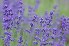 Цветки лаванды в цветени стоковое фото rf