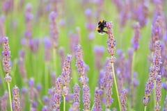 Цветки лаванды и деталь пчелы с славным bokeh Стоковая Фотография RF