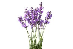Цветки лаванды на белой предпосылке стоковая фотография