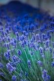 Цветки лаванды на поле летом в Венгрии стоковые изображения rf