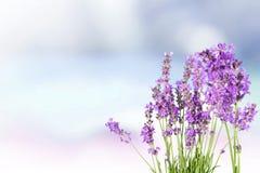 Цветки лаванды на светлой предпосылке стоковые фотографии rf