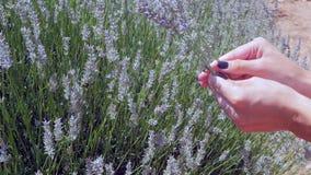 Цветки лаванды рудоразборки руки ` s женщины видеоматериал