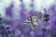 Цветки лаванды с бабочкой стоковые фото