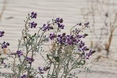 Цветки ландшафта пустыни пурпурные стоковая фотография