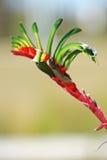 Цветки, лапка кенгуруа, Австралия стоковое изображение