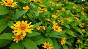 Цветки лилии видео замедленного движения желтые видеоматериал