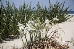 Цветки лилии песка на белых песках Стоковые Изображения