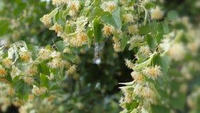 Цветки липы на зеленых ветвях Сезон лета цветя Ароматерапия и зеленый чай известки видеоматериал