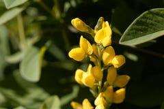 Цветки ложного люпина, Thermopsis Монтаны стоковое фото rf