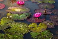 Цветки лотоса внутри на воде с солнечным светом стоковое фото