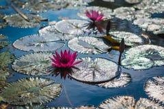 Цветки лотоса внутри на воде с солнечным светом стоковое фото rf