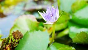 Цветок лотоса в бассейне стоковые изображения rf