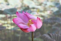 Цветки лотоса в Вьетнаме Стоковое фото RF