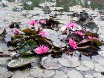 Цветки лотоса в пруде Стоковая Фотография