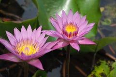Цветки лотоса зацветают в бассейне стоковая фотография