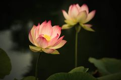Цветки лотоса, символизирующ рост и новые начала Стоковая Фотография RF