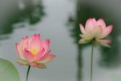 Цветки лотоса, символизирующ рост и новые начала Стоковое Изображение